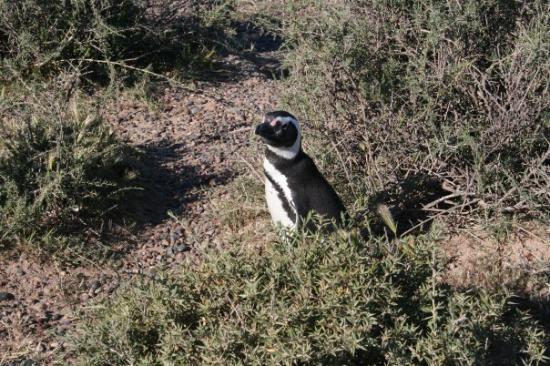 Punta Tombo National Reserve: Punta Tombo - Pingüinera