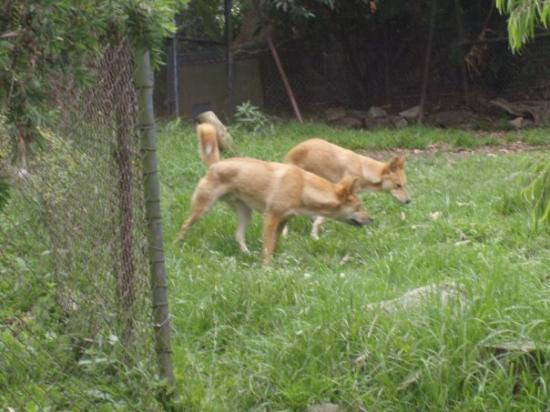 Mosman, Australia: Dingo'ssssssssssssssssssssss