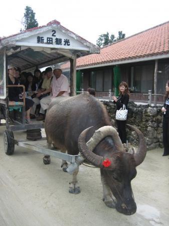 Taketomi-jima, ญี่ปุ่น: Water baffalo in Taketomi Island