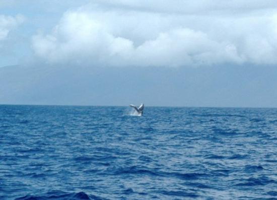 Ka'anapali, HI: Humpback Whale Maui