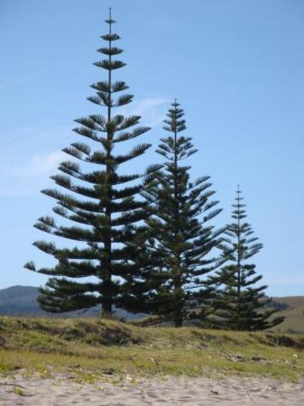 Whitianga, นิวซีแลนด์: arbre en vue du bord de plage. ce sont des arbres typique de la nouvelle zelande.