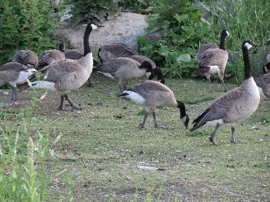 Elizabeth Lake Lodge: Got to be Canada, the geese are here!