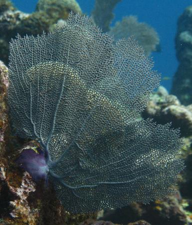 Turquoise Bay Dive & Beach Resort: Beautiful sea fans