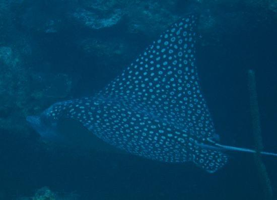 Turquoise Bay Dive Beach Resort Saw Spotted Eagle Rays On 2 Occasion