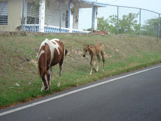 The Vieques Guesthouse: Horses roam freely around the island... got a pic of these two in front of the hotel