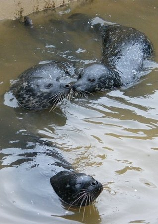 Scarborough, UK: Seals in the seal pool