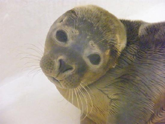 Scarborough, UK: A baby seal in the seal rescue center