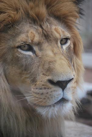 Denver Zoo: Lion