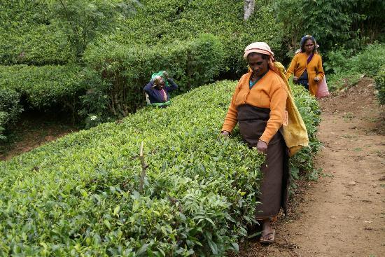 Tagesausflug von der Villa Rosa in eine Teeplantage