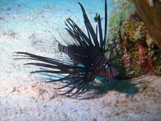 Grace Bay: The Lionfish - invading the Carribean!