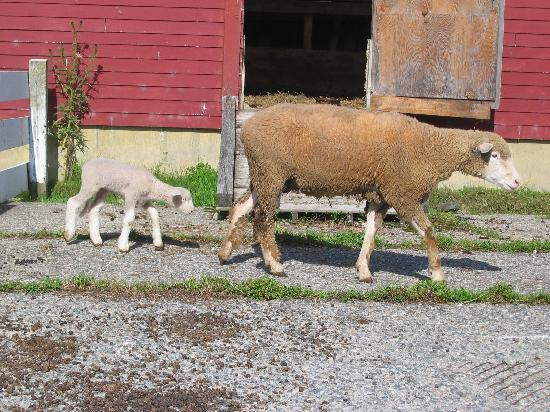 The Warfield House Inn : Mother and baby lamb