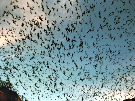 Bats leaving the cave entrance just before dusk. - Picture ...