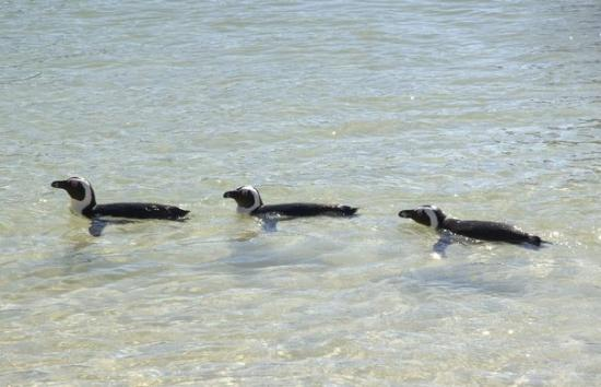 Boulders Beach: These little fellas were just swimming around