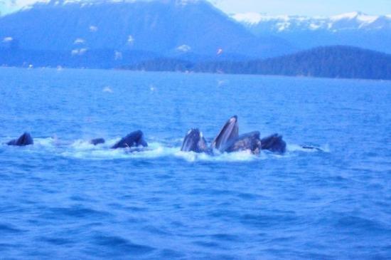 Glacier Bay National Park and Preserve, AK: Whales bubble netting