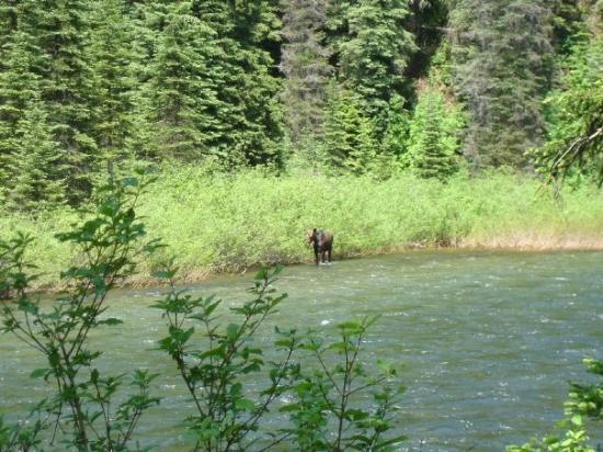 Avery, ID: moose