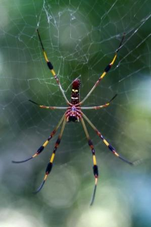 Giant Wood Spider Also Known As A Banana Spider