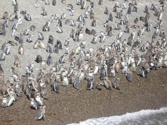 Comodoro Rivadavia, อาร์เจนตินา: Pinguinera de Punta Tombo,Santa Cruz, Argentina