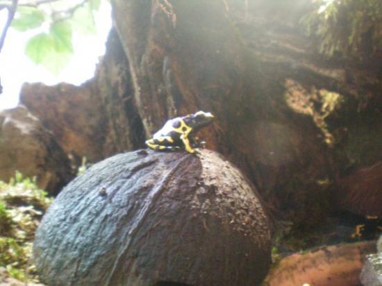 La Citadelle de Besancon: grenouille exotique toxique