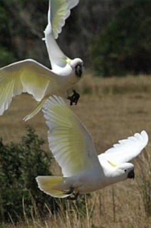 Wilsons Promontory National Park, ออสเตรเลีย: Cockatoos at Wilson's Prom, Victoria, Australia