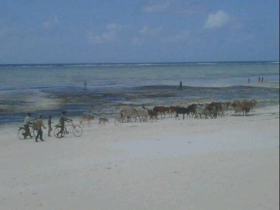 Vacas En La Playa Zanzibar Obr 225 Zok Pingwe Zanzibar