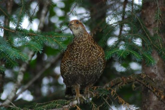 Stikine-Leconte Wilderness: Spruce Grouse