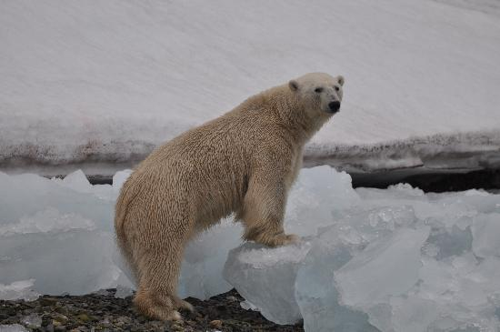 Svalbard, Norveç: Our first Bear
