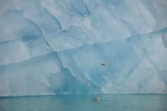 Svalbard, Noruega: Bird against ice