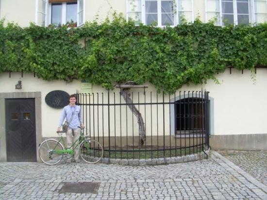 มาริบอร์, สโลวีเนีย: WINE TREE