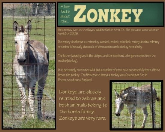 Alvin, Teksas: Kayla wanted to take the pictures of the Zonkey for show and tell this Friday 5/1/09 so I made t