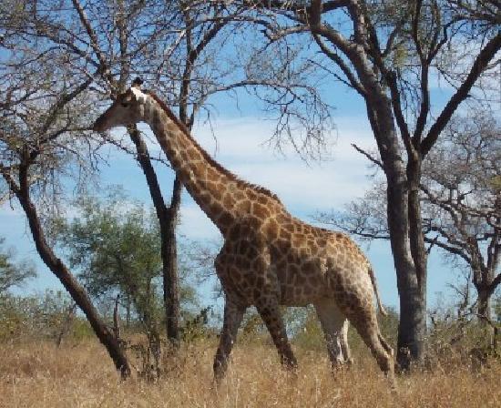 Skukuza Rest Camp: Giraffes everywhere