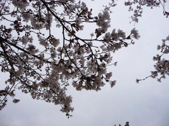 Hashimoto, Japon : Sakura
