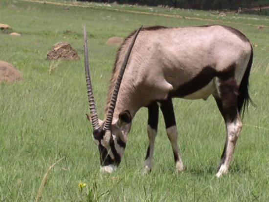 Lion and Safari Park: Oryx at Lion Park