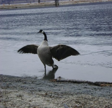 Kelowna, Canadá: I sat for like 5mins waiting for that bird to flap it's wings... I put the camera down f