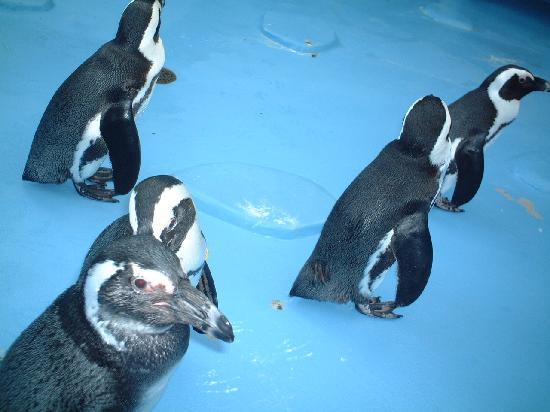 Matsue Vogel Park: ペンギンズ