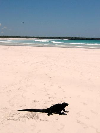 San Cristobal, Ισημερινός: Marine Iguana...they run funny