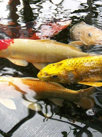 Fjarilshuset (Butterfly House): Koi fish pond