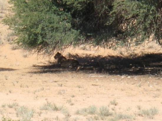 Kgalagadi Transfrontier Park, แอฟริกาใต้: famiglia di leoni