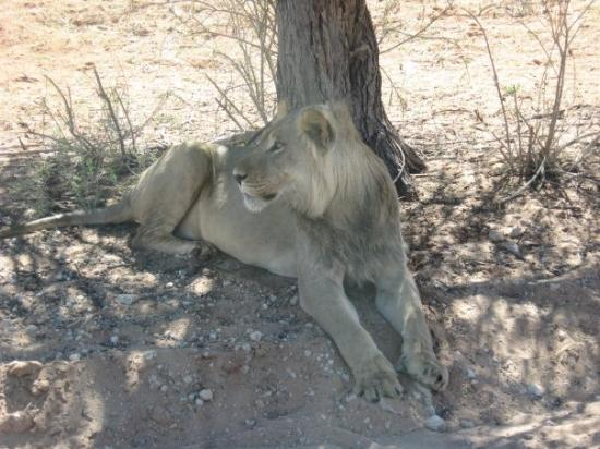 Kgalagadi Transfrontier Park, แอฟริกาใต้: leone