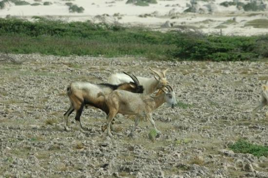 Oranjestad, Aruba: Wild goats