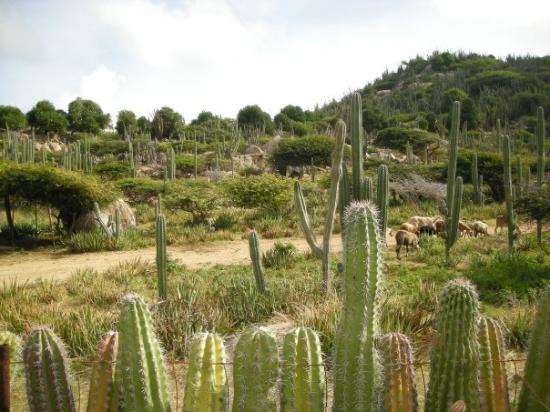 Oranjestad, Aruba: Aruba has LOTS of cactus!