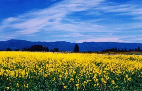 A Field Of Daffodils Somewhere In Montana Picture Of