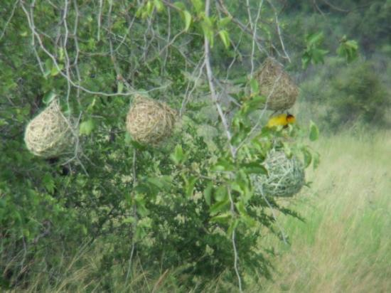 Pilanesberg National Park, แอฟริกาใต้: weaver birds and their nests