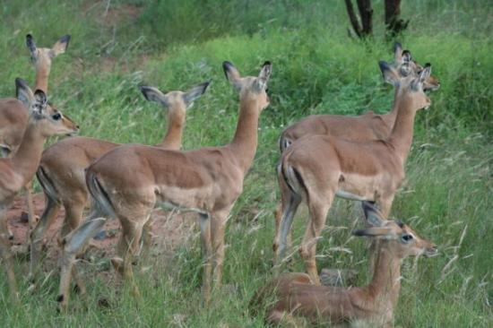 Pilanesberg National Park, แอฟริกาใต้: impala (or south african McDonalds!)