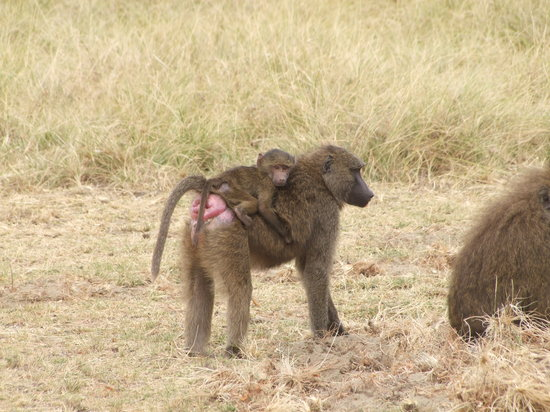 Tanzânia: Baboon with baby