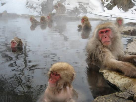 Nagano, Japan: Hot monkeys