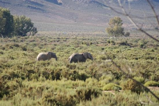 Touwsriver, South Africa: Elephant en route to the watering hole