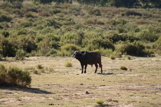 Touwsriver, South Africa: Water Buffalo