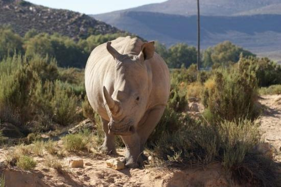 Touwsriver, Sydafrika: White lipped Rhino. This b*gger was about to charge, even the game warden beat a hasty retreat.