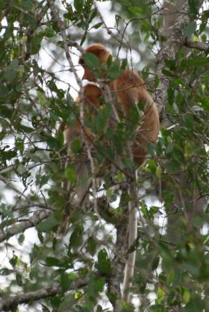Sandakan, Malaysia: Proboscis monkeys