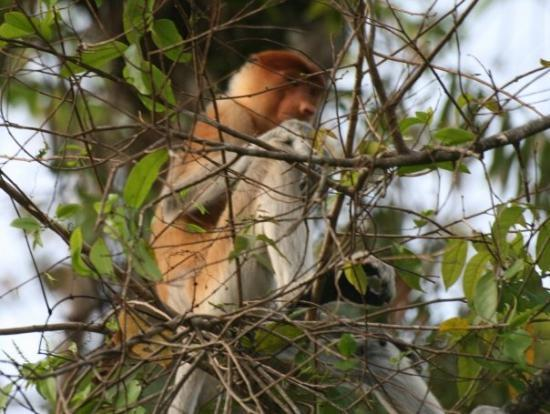 Sandakan, Malaysia: Proboscis monkey